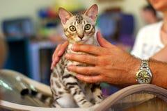 Bengal-Katze an der Ausstellung Stockbild
