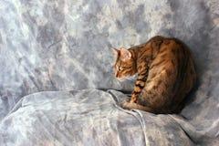 Bengal-Katze, die erschrocken schaut Stockbild