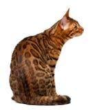 Bengal-Katze, die Recht auf Weiß sitzt und betrachtet Lizenzfreie Stockfotografie