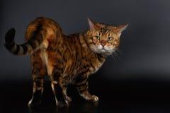 Bengal-Katze, die zurück auf seinem Endstück schaut Stockfotografie
