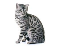 Bengal-Katze im Studio lizenzfreie stockbilder