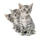 Bengal-Katze im Studio stockbild