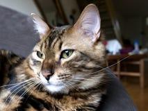 Bengal-Katze: Marmor-Bengal-Kaschmirkatze zu Hause genommen Lizenzfreies Stockbild