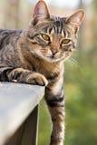 Bengal-Katze mit dem Fahrwerkbein, das unten hängt Lizenzfreies Stockbild