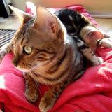 Bengal-Katze mit dem Kätzchen schlafend auf ihr zurück auf dem roten Teppich zu Hause genommen Lizenzfreie Stockfotografie