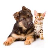 Bengal-Katze und Schäferhundhündchen, das Kamera betrachtet Getrennt Lizenzfreies Stockfoto