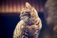 Bengal-Katze vom Profil stockbild