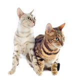 Bengal-Katzen stockfoto