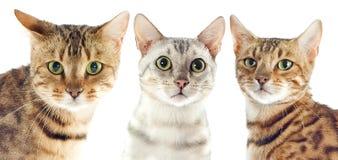 Bengal-Katzen stockfotos