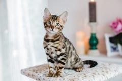 Bengal-Katzen babys Leopard Stockbilder