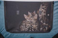 Bengal-Katzen babys Leopard Stockfotografie