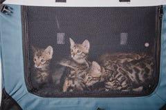 Bengal-Katzen babys Leopard Lizenzfreies Stockfoto