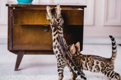 Bengal-Katzen babys Leopard Stockfotos
