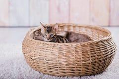 Bengal-Katzen babys Leopard Lizenzfreies Stockbild