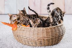 Bengal-Katzen babys Leopard Stockfoto