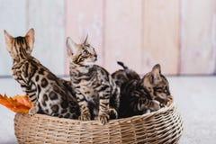 Bengal-Katzen babys Leopard Stockbild