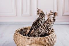 Bengal-Katzen babys Leopard Lizenzfreie Stockbilder