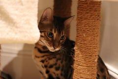 Bengal-Katzen - Tiger Stockbild