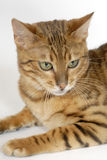 Bengal-Katzen - Tiger Lizenzfreie Stockfotos