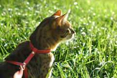 Bengal-Katzen - Tiger Lizenzfreie Stockfotografie