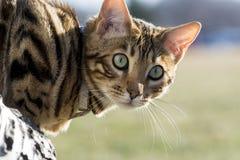 Bengal-Katzen - Tiger Stockfotografie