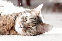 Bengal-Katzen - Tiger Lizenzfreie Stockbilder