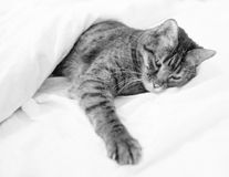 Bengal-Katzen - Tiger Stockfotos