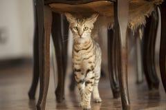 Bengal-Katzen - Tiger Lizenzfreies Stockfoto