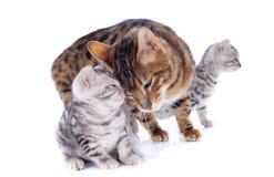 Bengal-Katzen und -weichheit stockbild