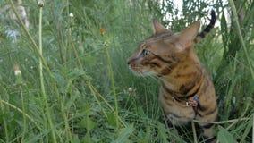 Bengal-Katzenwege im Gras Er zeigt verschiedene Gefühle stockbild