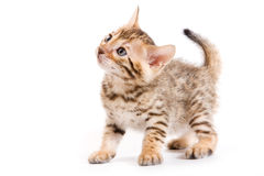 Bengal kitten Stock Photos