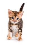 Bengal kitten Stock Image