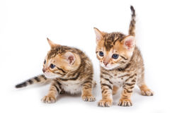 Bengal kitten Stock Photography
