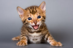Bengal kitten Royalty Free Stock Images