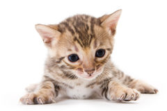 Bengal kitten Royalty Free Stock Photos