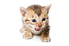 Bengal kitten Stock Images