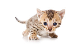 Bengal kitten Stock Photo