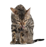 Bengal kitten, 4 months old Stock Images