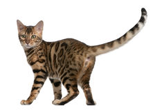 Bengal kitten, 5 months old Royalty Free Stock Photos