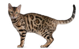 Bengal kitten, 5 months old Stock Photography