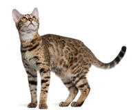 Bengal kitten, 6 months old Stock Photography