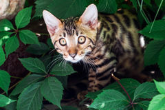 Bengal kitten alone outdoors Stock Images
