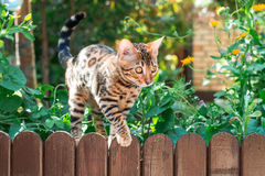 Bengal kitten alone outdoors on a wooden fence Royalty Free Stock Image