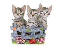 Bengal kitten in basket Royalty Free Stock Photos