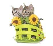Bengal kitten in basket Stock Photos