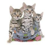 Bengal kitten in basket Stock Photography