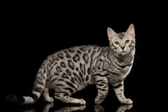 Bengal Kitten on Black Background. Bengal Male Cat with White Fur Standing on Isolated Black Background, side view Royalty Free Stock Photo