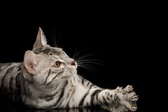 Bengal Kitten on Black Background. Happy Bengal Male Cat with White Fur Lying and Looking up on Isolated Black Background, side view Stock Photo