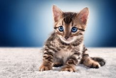 Bengal kitten on blue background. A cute bengal kitten with blue eyes on blue background staring at someone Royalty Free Stock Images