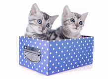 Bengal kitten in box Royalty Free Stock Image